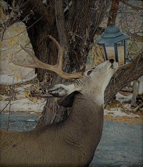 A Mule Deer Buck Noses Up To A Backyard Bird Feeder n Northwestern Colorado