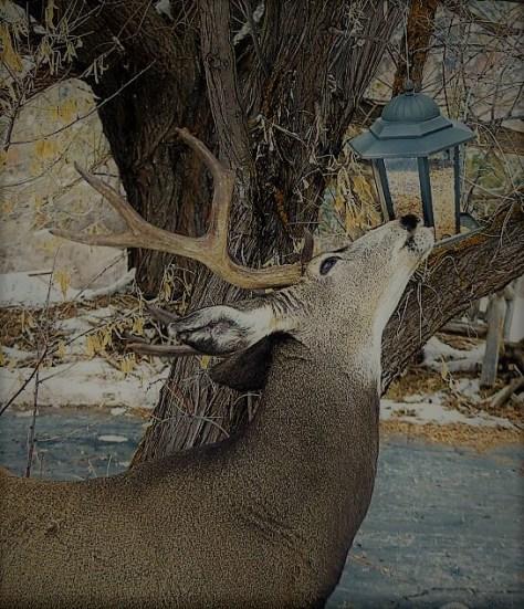A Mule Deer Buck Noses Up To A Backyard Bird Feeder n Northwestern Colorado