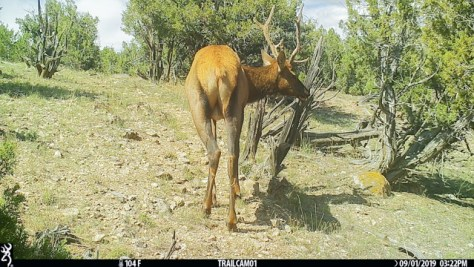 A Young, Bull Elk Wanders Up A Game Trail during The Middle Of a Hot Day In Western Colorado. Photograph By Michael Patrick McCarty