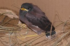 Miserable Morris Mynah