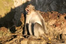 Monkeys on Mount Batur