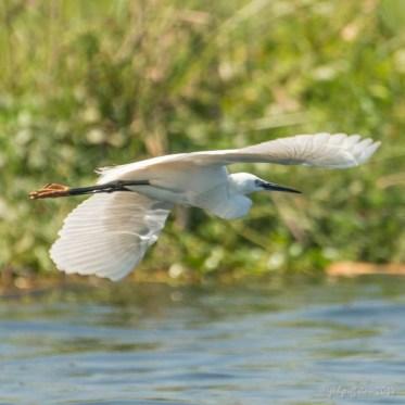 Egret, Inle Lake