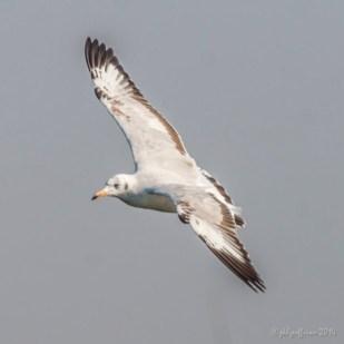 Seagull, Inle Lake