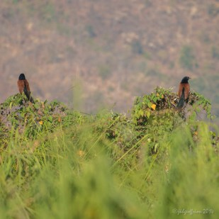 Greater Coucals, Inle Lake