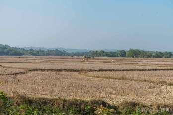 Rice paddie (harvested)