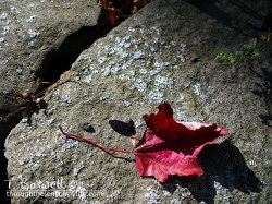 IMG_8290 2 leaf wm