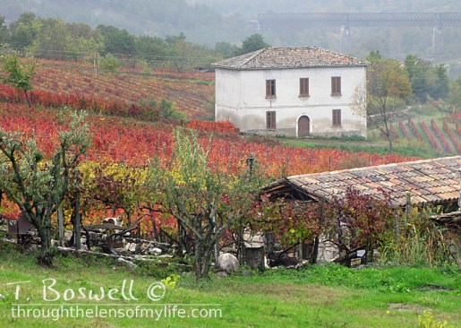 A vinyard in Taurasi, Italy.