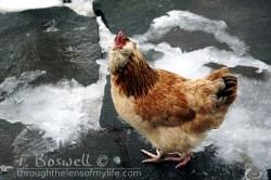DSC05357-2-chicken-3x2-terry-boswell-wm