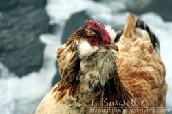 DSC05361-2-chicken-3x2cp-terry-boswell-wm