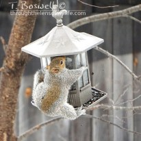 Fat squirrel hugging a bird feeder.