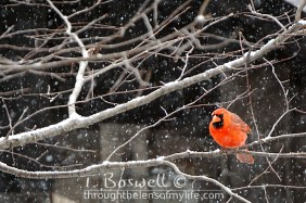 DSC06473-2-cardinal-snowing-3x2cp-terry-boswell-wm