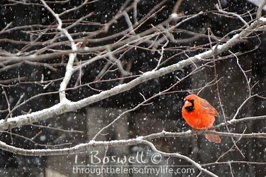DSC06473-2-cardinal-snowing-3x2cp-terry-boswell-wm