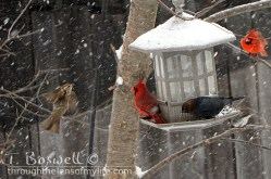 DSC06618 2-snowing-birds-at-feeder-cardinals-cow-bird-sparrow-3x2cp-terry-boswell-wm
