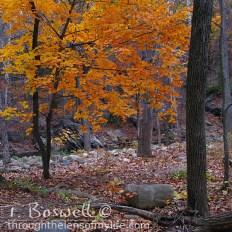 IMG-8178-2-orange-fall-tree1x1cp-terry-boswell-wm