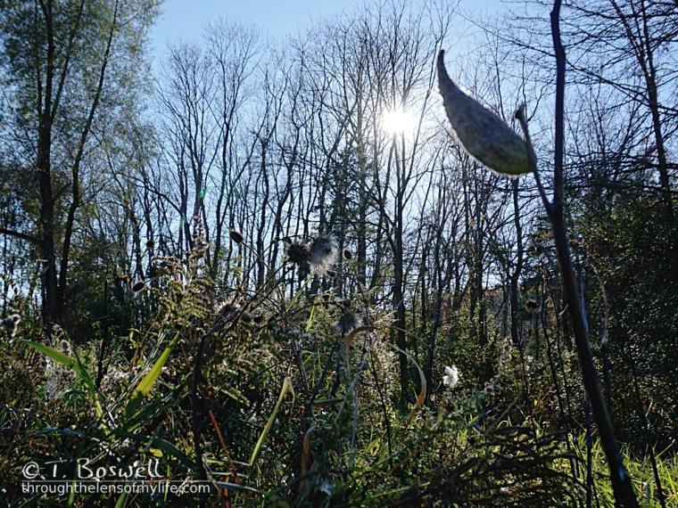 empty milkweed pod in the sunlight