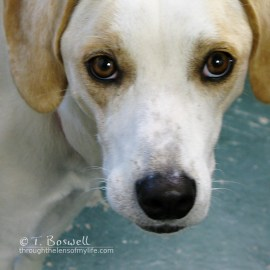 IMG_1594-2cp1x1-beagle-australian-cattle-dog-mix-big-eyes-terry-boswell-sugar-loaf-ny-wm