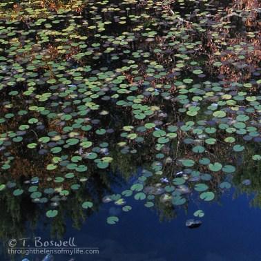 IMG_9235-3b-1x1-water-lilies-harriman-state-park-wm