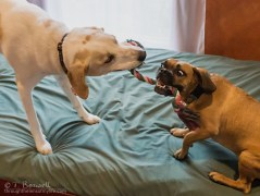 20160505-DSC09677-2-4x3b-tug-o-war-beagle-cattle-dog-mix-puggle-wm