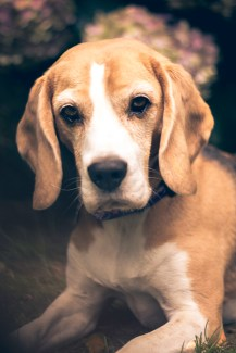 January 11 - I didn't feel like setting up a scene to photograph yesterday, so I instead took my oldest and best-behaved beagle - Tinkerbell - out to the garden to model for me. I then decided to have some fun in Lightroom, playing around with various vintage effects.
