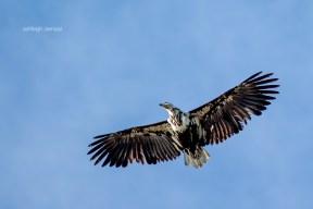 A juvenile fish eagle in flight