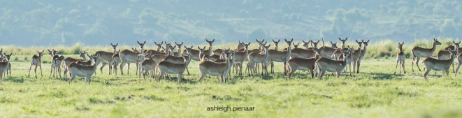 A herd of curious lechwe