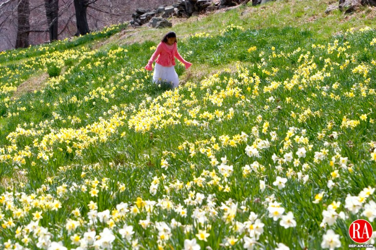 NORTHFIELD, CT - 16 APRIL 2006 -041606JT01-- Ashley Blade, 9, of Torrington, walks among the Laurel Ridge Narcissi Plantings in Northfield after going to an Easter Sunday service. Josalee Thrift Republican-American