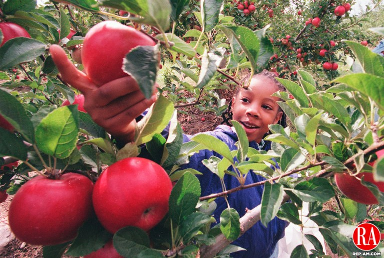 SOUTHINGTON,CT-9/25/98-0925CK02.tif-Jessica Franks age 7 of Waterbury reaches into an apple tree to pick an apple at the Rogers orchards in Southington during their free picking hours on Friday.   CASEY KEIL PHOTO.