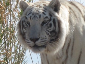 Chalet, the white tiger from Out of Africa wildlife park.