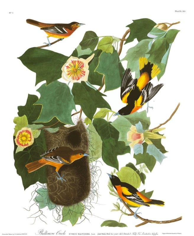Audubon-PlateXII.Oriole