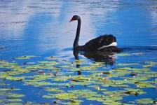 Resident swan