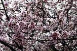 The trees of Ueno Park completely covered in sakura petals