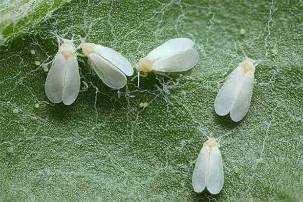 Cinco moscas blancas en una hoja