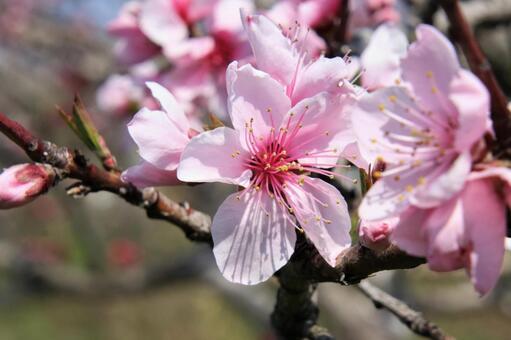アーモンドの花の写真素材 写真素材なら「写真AC」無料(フリー)ダウンロードOK