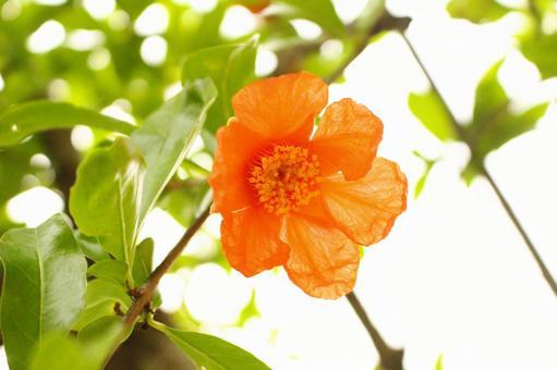 ザクロの花の写真素材 写真素材なら「写真AC」無料(フリー)ダウンロードOK