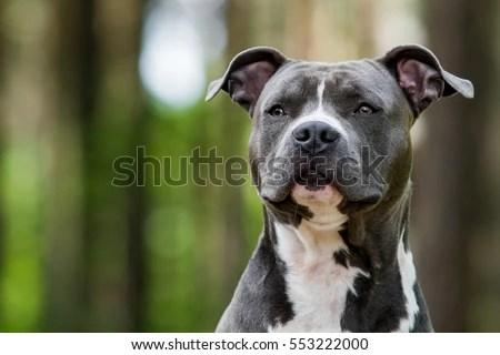 Cute Baby Bulldogs Wallpaper Pitbull Stock Images Royalty Free Images Amp Vectors