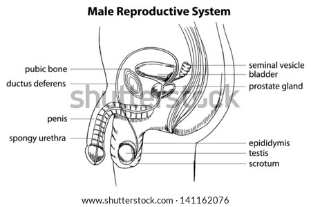 Illustration Showing Male Reproductive System Stock
