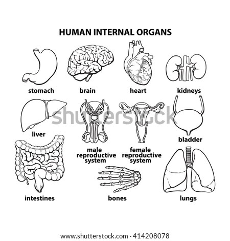 Set Human Organs Vector Different Human Stock Vector