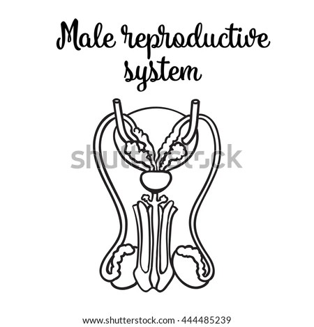 Male Reproductive System Vector Sketch Handdrawn Stock