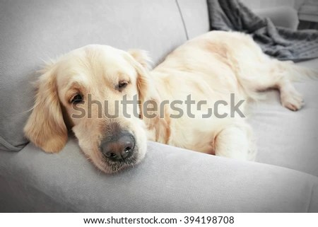 leather sofa nova scotia wayfair twin sleeper dog on couch stock images, royalty-free images & vectors ...