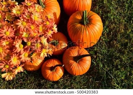 pumpkins mums stock royalty-free