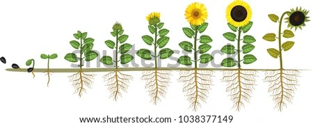 sunflower plant life cycle diagram humpback whale skeleton growth stages seed stock vector 1038377149 - shutterstock