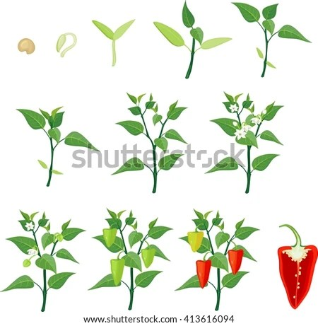 diagram of the life cycle strawberry vauxhall corsa d radio wiring pepper growing stage stock illustration 413616244 - shutterstock