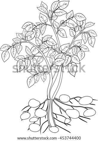 Coloring Potato Plant Stock Illustration 453744376