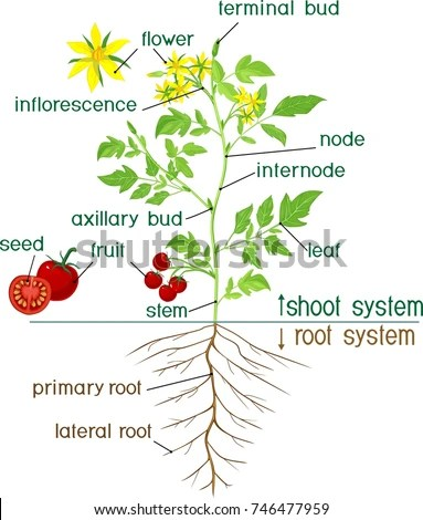 diagram of a flowering plant with label gigabit wiring parts morphology tomato stock vector 746477959 - shutterstock