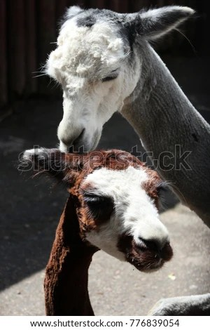 Sweet Cute Couple Wallpaper Llama Stock Images Royalty Free Images Amp Vectors