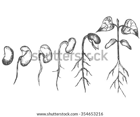 Seed Germination Isolated On White Stock Vector 354653216