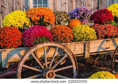 fall mums stock royalty-free
