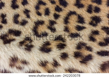 Real Leopard Skin Rug Taxidermy Lion Tiger India Trophy Old