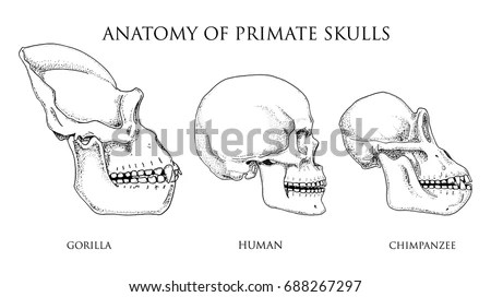 Gorilla Sketch Stock Images, Royalty-Free Images & Vectors