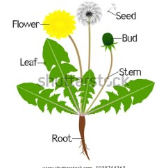 Lily Diagram Printable Danfoss Vlt Wiring Flower Parts Toyskids Co Illustration Showing Dandelion Plant Stock Vector Worksheet